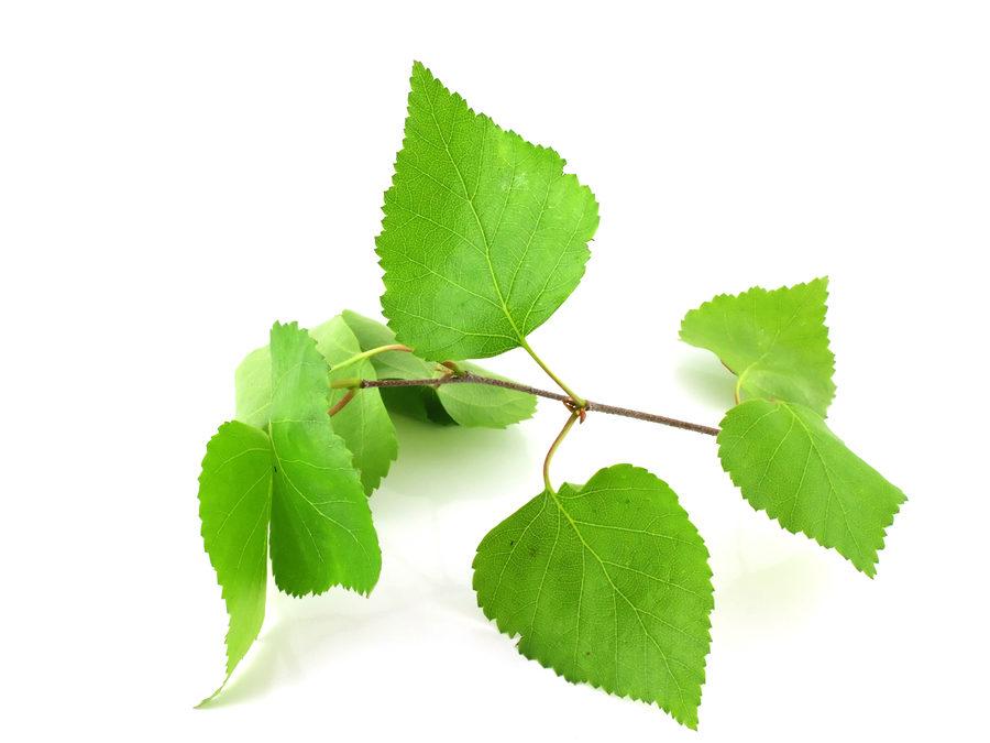 Birkenblätter Extrakt gegen Haarausfall